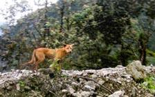 Ancient New Guinea 'Singing Dog' Rediscovered after 50 Years