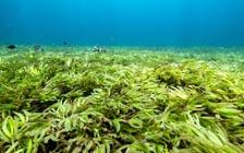Scientists Study How Ocean Seagrasses Can Fight Climate Change