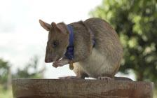 'Hero' Rat Receives Award for Searching out Landmines