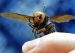 Giant Hornets Arrive in United States