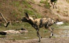 Study Shows Unusual Evolutionary Changes in African Wild Dogs