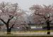 US Capital Tries to Cut Visits To Famed Cherry Blossoms Park