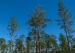 Longleaf Pine Trees Give Us More than Just Wood