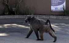 Troublesome South African Baboon Sent Away for Raiding Homes