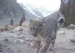 Snow Leopard Conservation Efforts Endangered by COVID-19