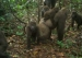 First Images Taken of Rare Gorilla with Babies